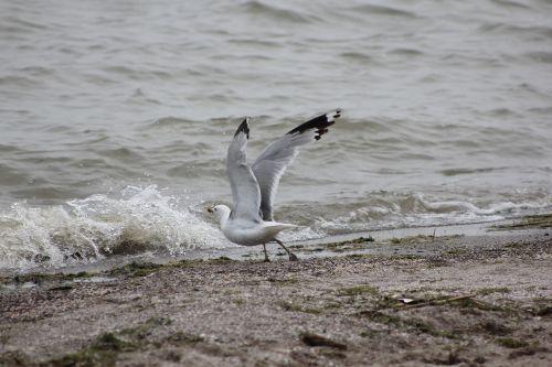 seagull lake erie