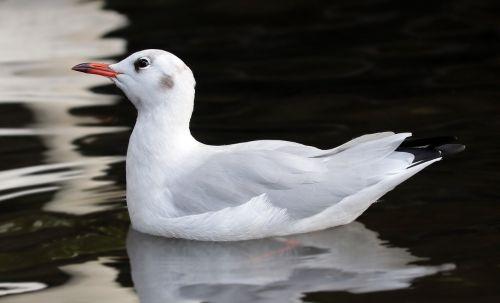 seagull bird water bird