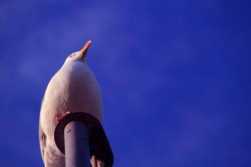 seagull gulls sky