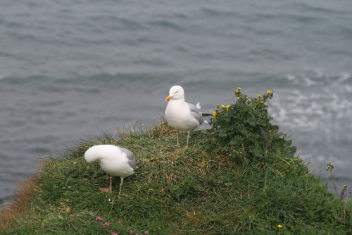 seagull bird seabird