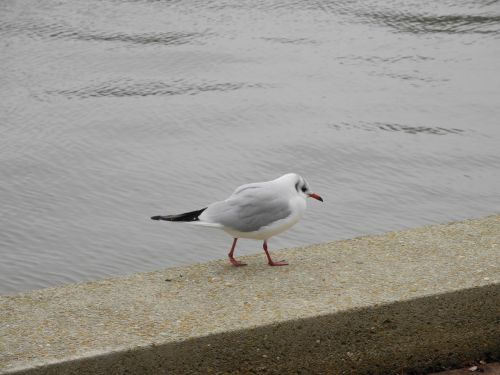 seagull red beak legs red