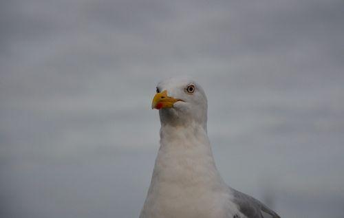 seagull sea seabird