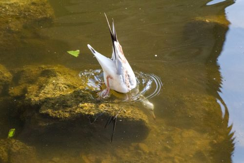 seagull water diving