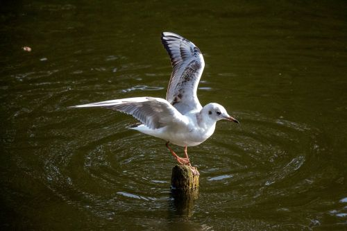 seagull water river