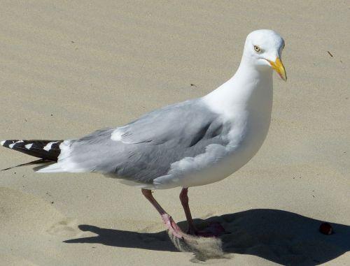 seagull seevogel coast