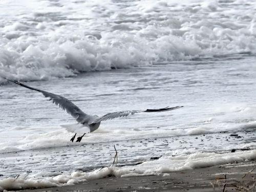 seagull ocean bird