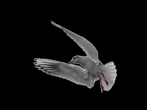 seagull flight isolated