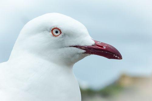 seagull seabird bird