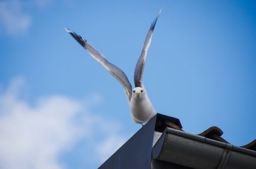 seagull,summer,bird,wings outspread,animal,laughing gull,city,finnish,fly,summer sunshine,nature,sea,early summer,summer vacation,blue,landscape,seaside,descent,waterfowl,lokinpoikanen,sky