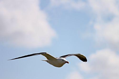 seagull fly flight