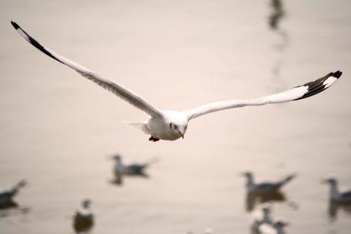 seagull thailand bird