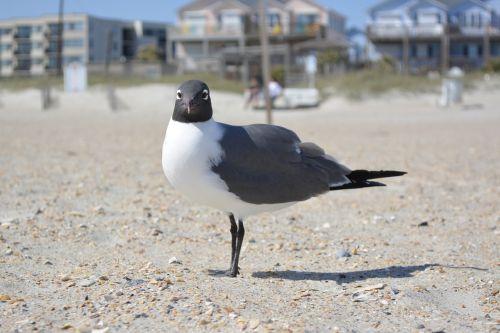 seagull laughing gull crystal coast