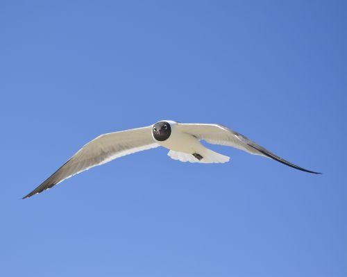 seagull laughing gull nc