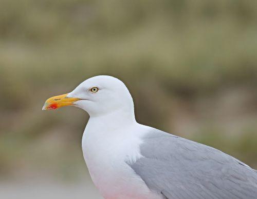 seagull close head