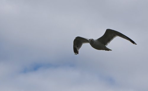 seagull  flight  sea