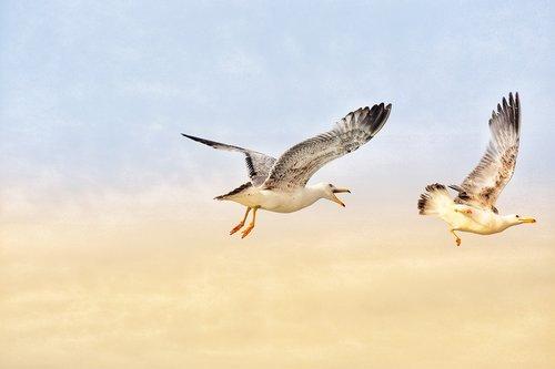 seagull  sky  bird