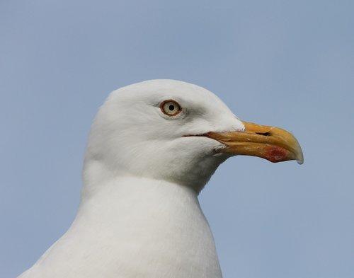 seagull  close up  head