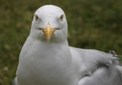 seagull  close up  view