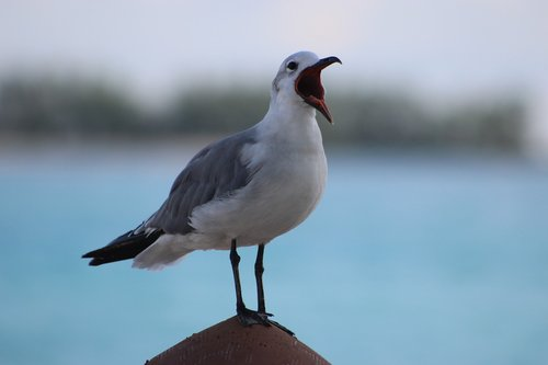 seagull  seabird  wildlife