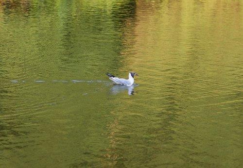 seagull  seagull śmieszka  water