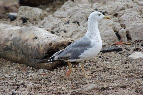 seagull  bird  plumage