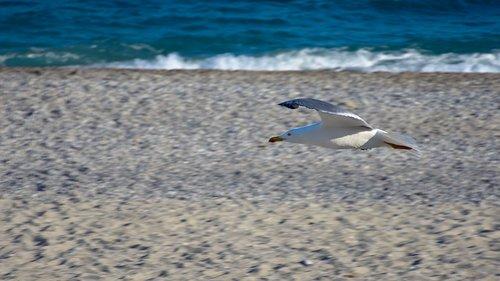 seagull  sea  beach