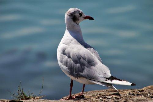 seagull  bird  loser