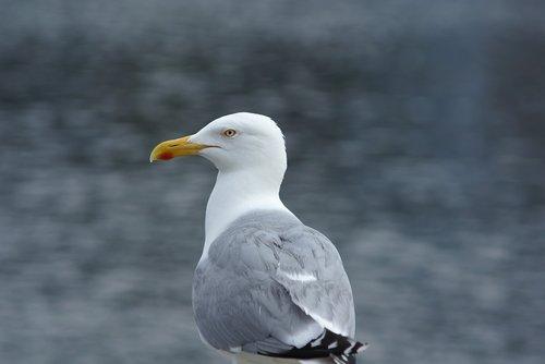 seagull  herring gull  seevogel