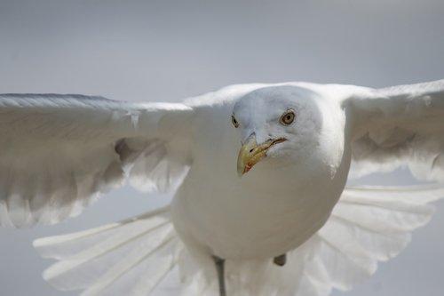 seagull  flying  flight