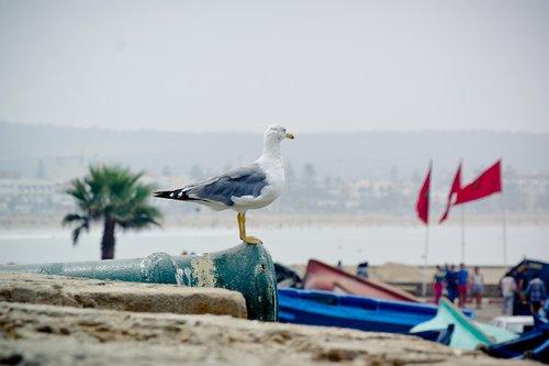 seagull  yellow-legged gull  bird