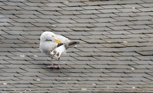 seagull  roof  tiles