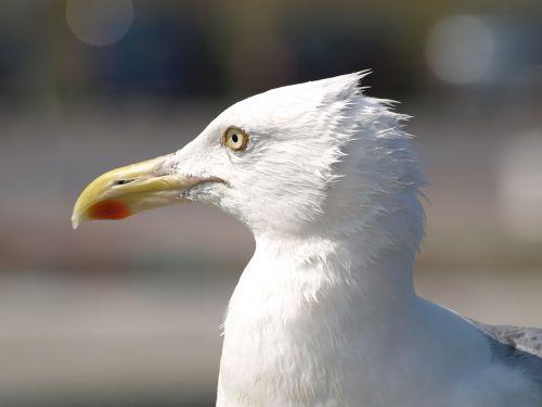 seagull slice breezes bill