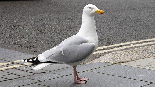 seagull  brutal  bird