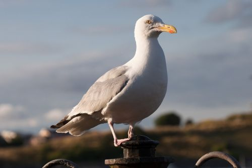 seagull laridae bird
