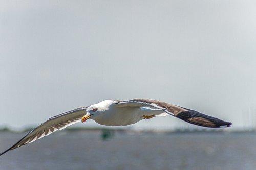 seagull  herring gull  flying