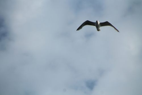 seagull grey sky