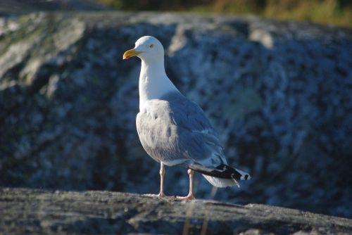 seagull seabird coast