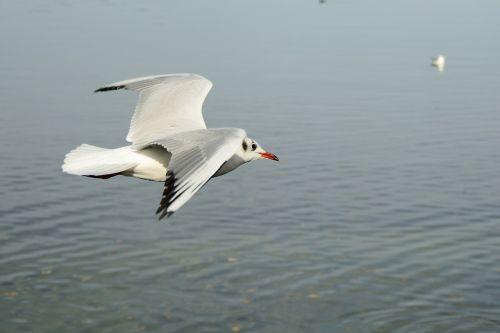 seagull bird fly