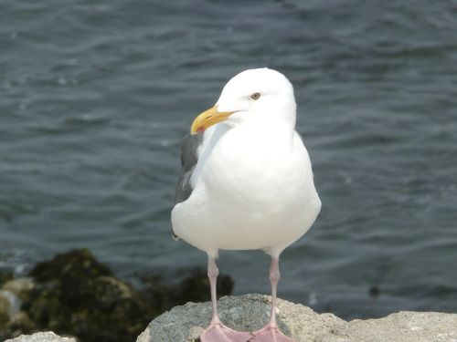 seagull white animal