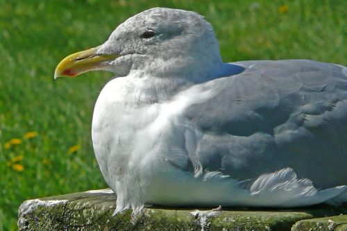 seagull sitting bird