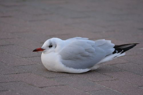 seagull black headed gull cold