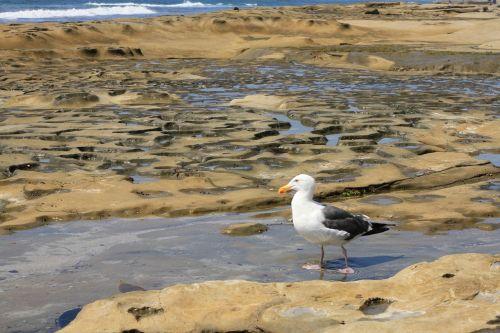 seagull encinitas tidal pool