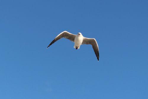 seagull flight wing beat
