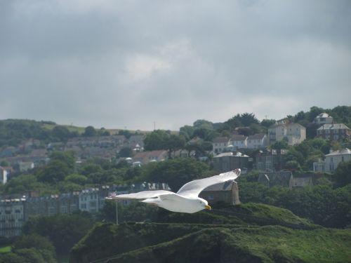 seagull bird flight