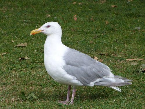 seagull ave bird
