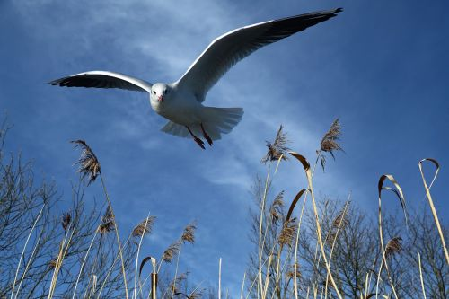 seagull,fly,bird,wing,freedom,locomotion,feather,plumage,air,flight form,water bird,animal,spring dress,bird flight,nature,creature,bill,covered,cloudiness,sky,landscape,blue,cloud,reed,grasses,teichplanze,marsh plant,bank,free photos,free images,royalty free