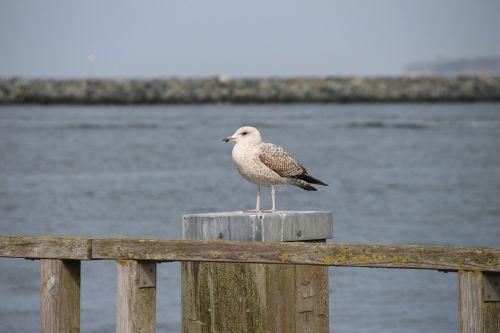 seagull waterfowl close