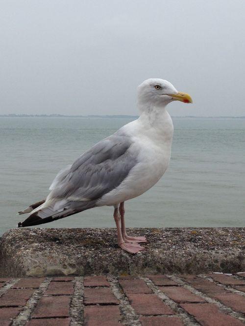seagull sea fly