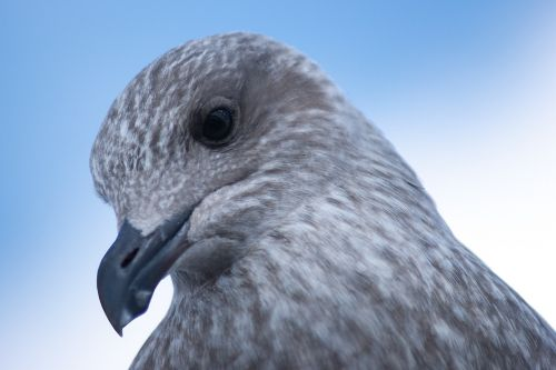 seagull young animal bird