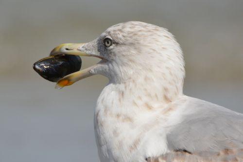 seagull mussel animal